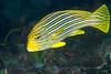 Anilao<br /> Plectorhinchus polytaenia<br /> Ribbon Sweetlips