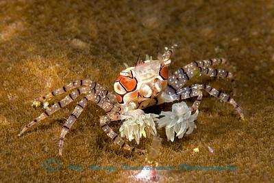 Anilao Lybia tessellata Common Boxer Crab