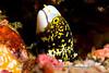 Anilao<br /> Echidna nebulosa <br /> Snowflake Moray