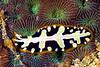 Anilao<br /> pseudoceros imperatus<br /> Imperative flatworm