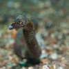 Shortnose pipefish