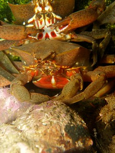 Kelp crabs stacking up.