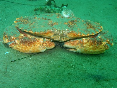 A Seastar strokes the empty molt of a now even bigger Rock crab.