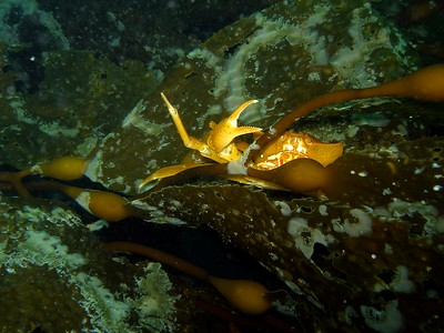 A friendly wave from this Kelp crab out at Santa Cruz Island CA.