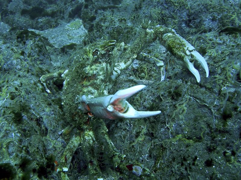 Sheep crab on the defense off of Santa Cruz Island CA