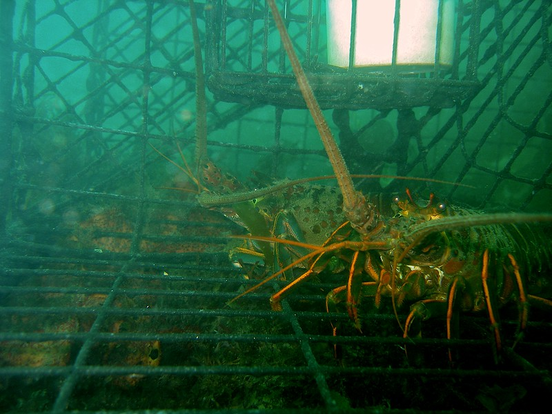 Lobster's eye view from within the trap,