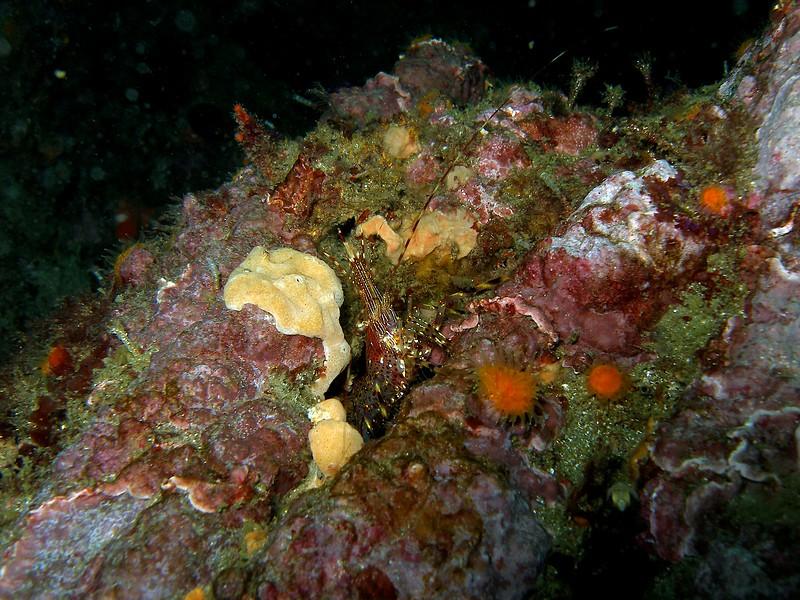 Coonstripe shrimp emegerging.
