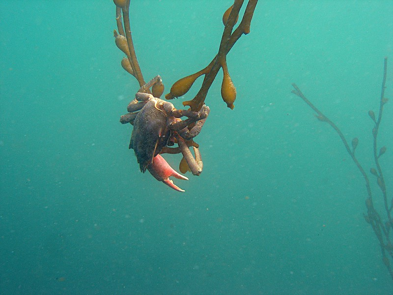 Swinger, this Kelp crab was the only thin holding these two Kelp stipes together in the current.