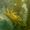 A Northern Kelp crab on Giant Kelp, offshore Tajiguas CA