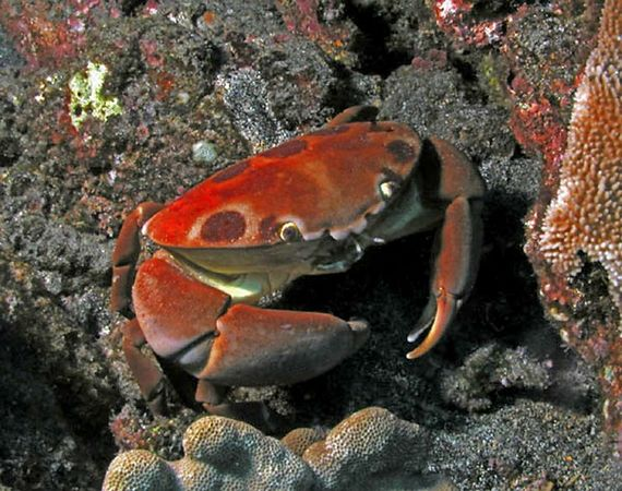 Seven Eleven Crab<br /> Hawaiian name alakuma<br /> Carpilius maculatus