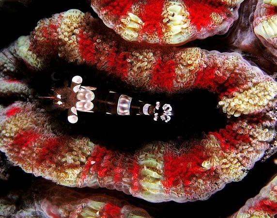 Popcorn Shrimp<br /> Kingkungan Bay, North Sulawesi