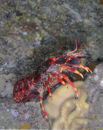 Regal Slipper Lobster<br /> Arctides rgalis <br /> Hawaiian name ula-papapa<br /> Kona Coast of the Big Island