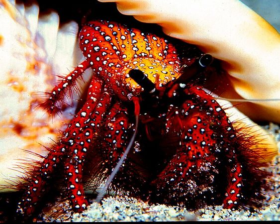 White Spotted Hermit Crab<br /> <br /> Kona Coast of the Big Island