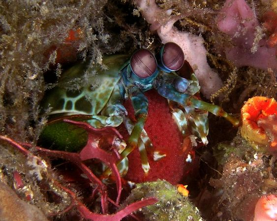 Mantis Shrimp with eggs<br /> Kungkungan Bay, North Sulawesi