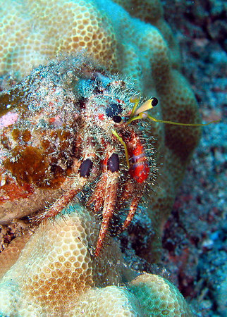 Bloddy Hermit Crab<br /> Dardanus sanguinocarpus Degener<br /> Gows to a length of approx. 1 inch