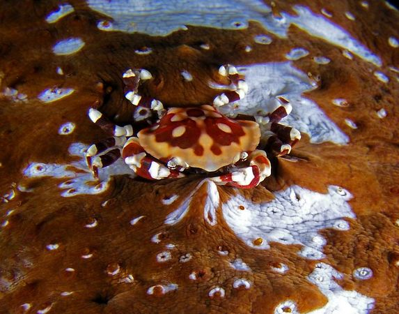Sea Cucumber Crab<br /> Lissocarcinus orbicularis<br /> Kona Coast of the Big Island