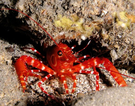 Bullseye Reef Lobster sometimes called a Target Lobster<br /> Hoplometopus holthuisi<br /> Kona Coast of the Big Island