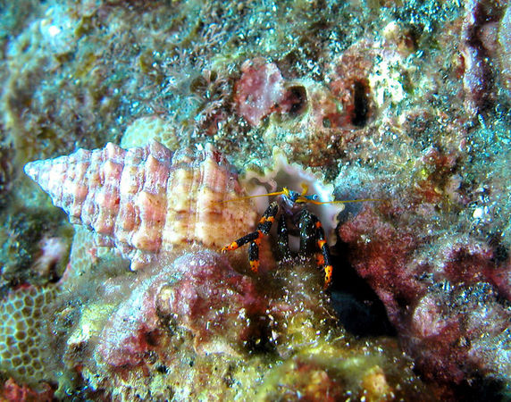 Elegant Hermit Crab<br /> Calcinus elegans<br /> Kona Coast of the Big Island