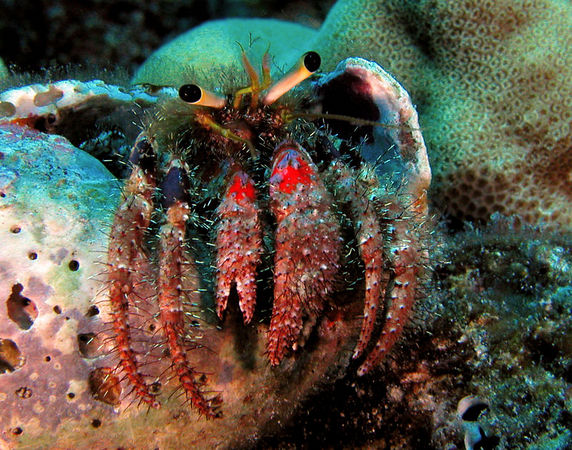 Bloody Hermit Crab<br /> Dardanus sanguinocarput<br /> Kona Coast of the Big Island