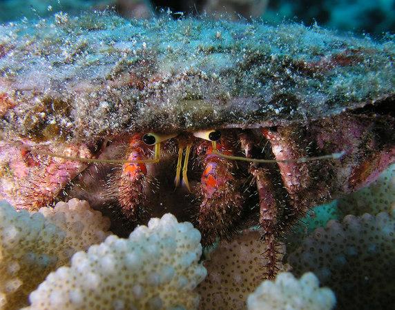 Bloody Hermit Crab<br /> Dardanua sanguinocarpus Degener<br /> Kona Coast of the Big Island