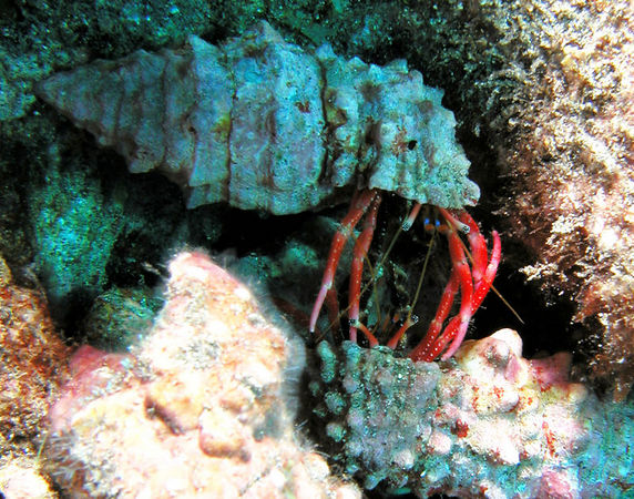 Pair of Laurent's Hermit Crabs<br /> Calcinus laurentae<br /> Kona Coast of the Big Island