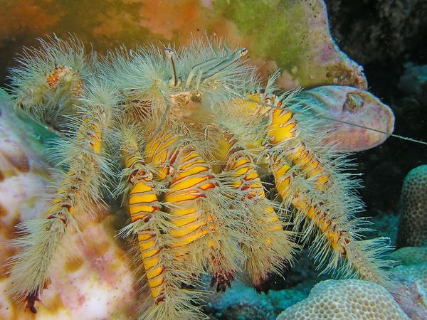 Hairy Yellow Hermit Crab<br /> Aniculus maximus<br /> Kona Coast of the Big Island