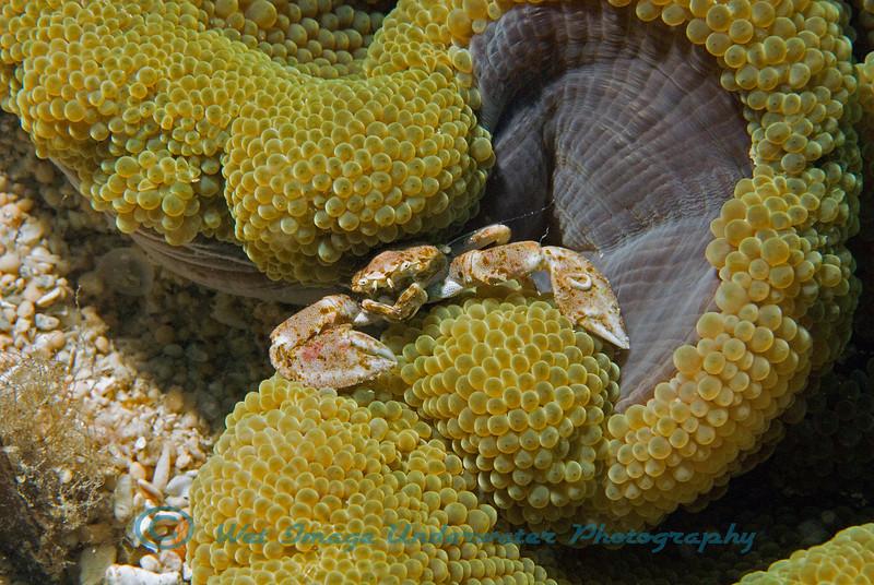 Neopetrolisthes maculatus<br /> Porcelain Crab