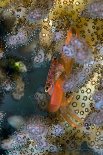 Quadrella sp.<br /> Coral crab
