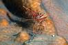Rhynchocinetes durbanensis<br /> Hingebeek Shrimp sp.