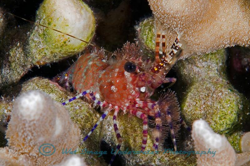 Saron sp.<br /> Marble Shrimp