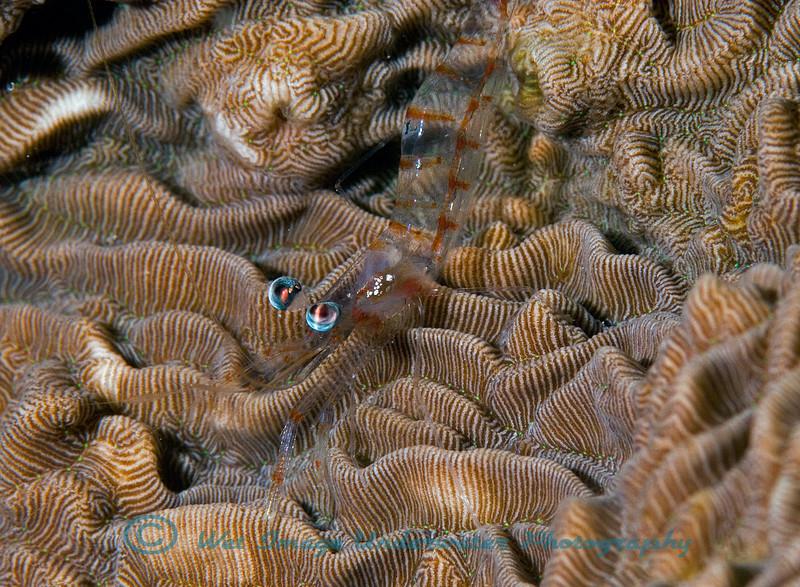 Glass Shrimp sp