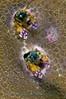 Paguritta harmsi<br /> Coral Hermit Crab