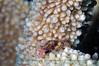 Coral crab sp