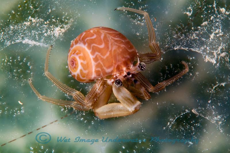 Hermit Crab sp.