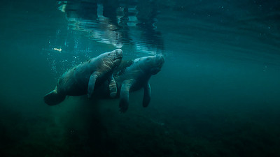 Manatee and Calf