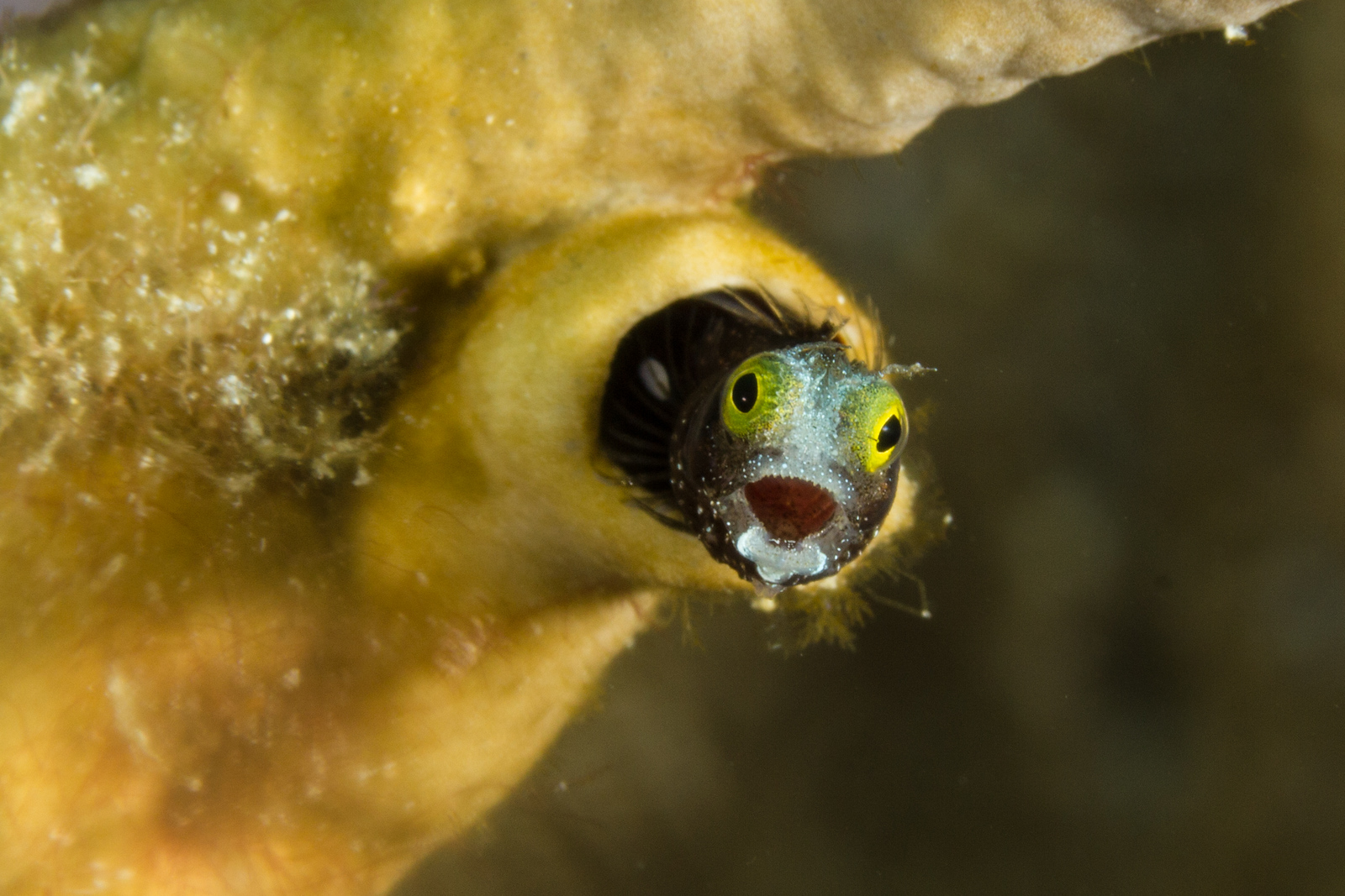 Excited Spinyhead Blenny