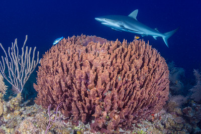 Barrel Sponge & Silky Shark
