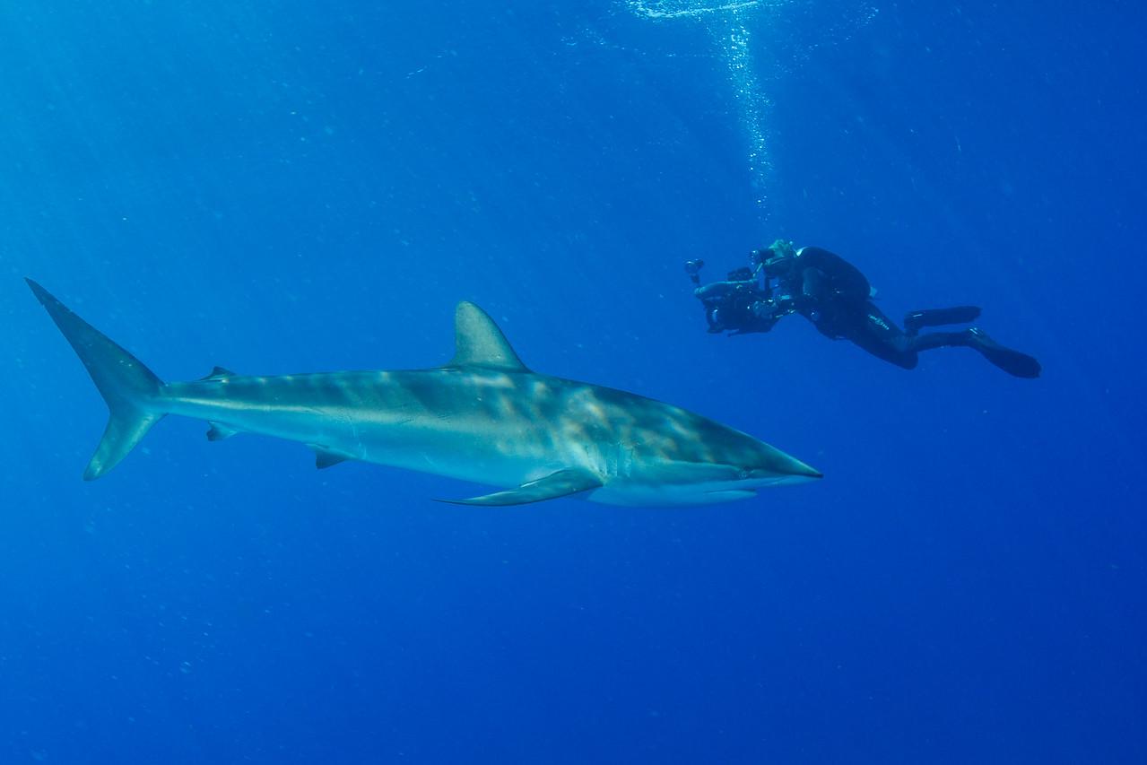 Milan & Silky Shark