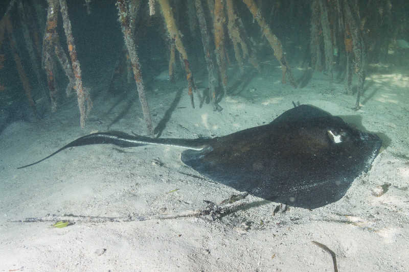 Southern Stingray in Mangroves