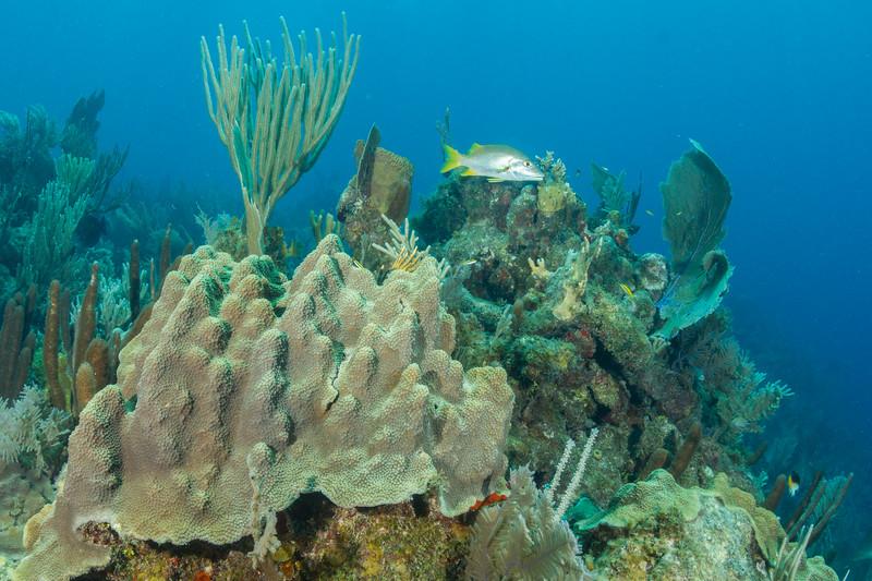 Mountainous Star Coral