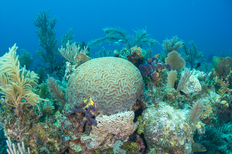 Grooved Brain Coral