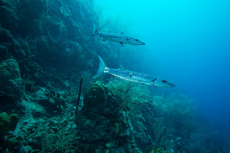 Barracuda, Short Wall dive - Curaçao 2013