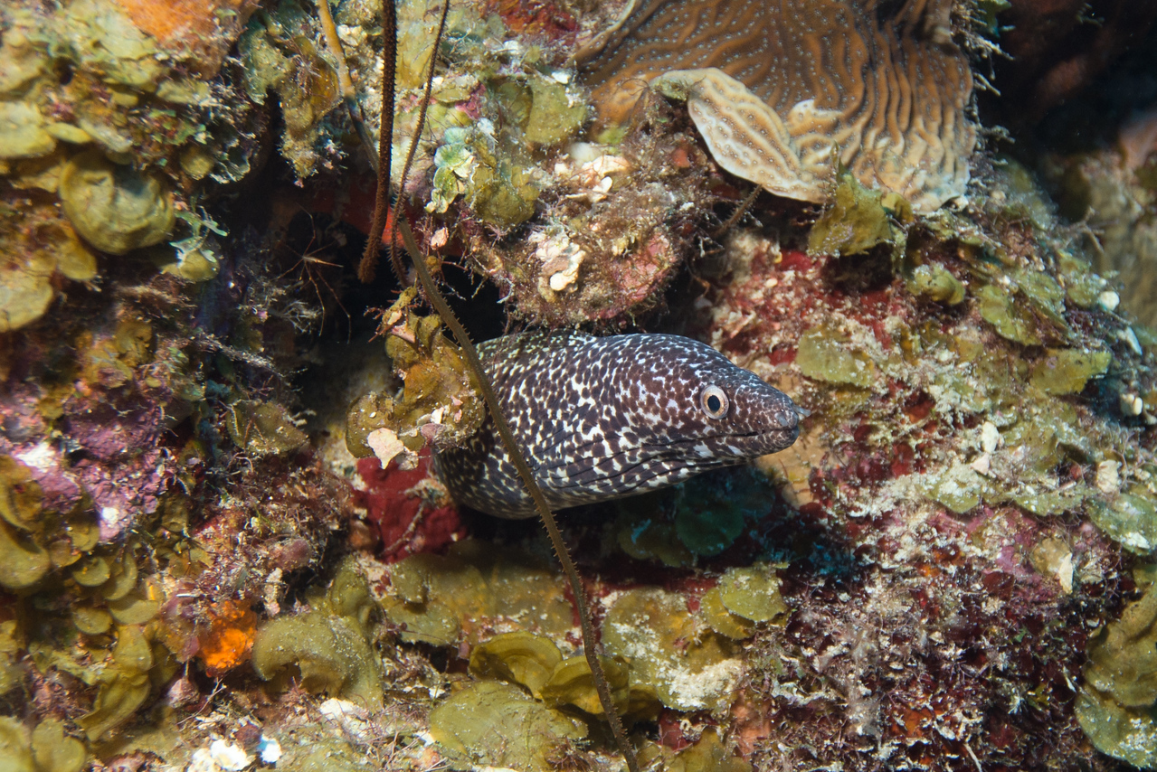Black-spotted Moray Eel, District Bay, Curaçao 2013
