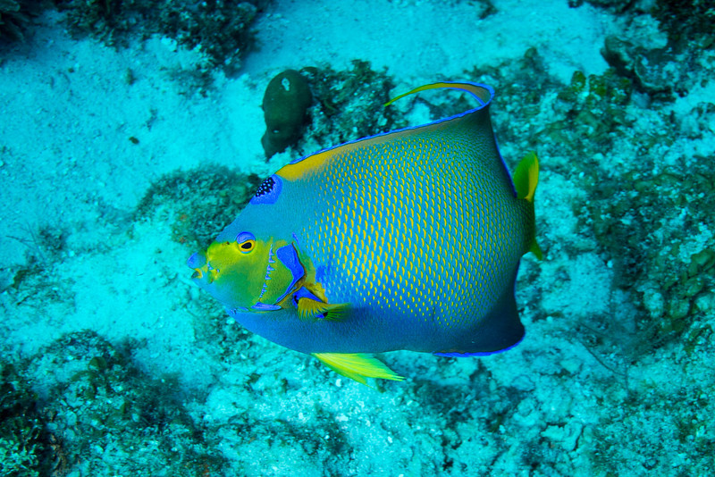Queen Angelfish, Short Wall dive - Curaçao 2013