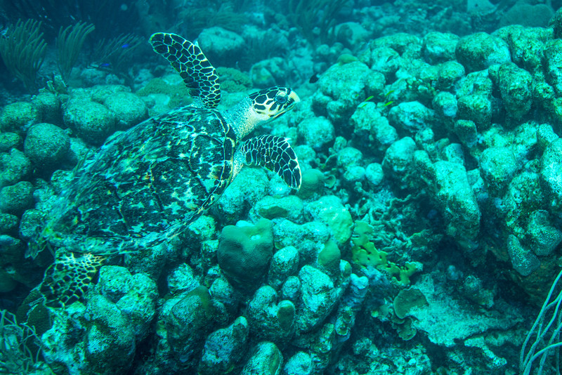 Green Sea Turtle, Newport dive - Curaçao 2013