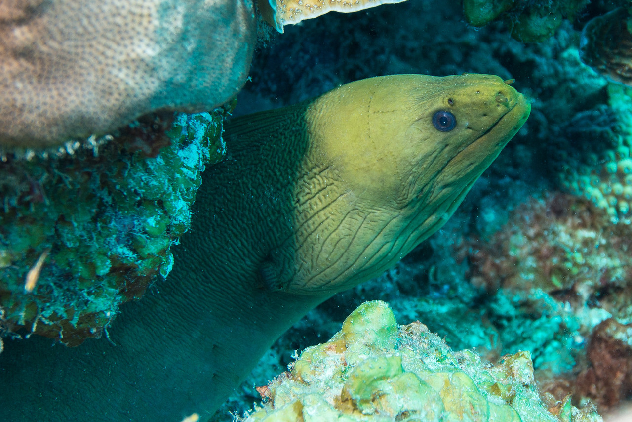 Green Moray Eel, District Bay, Curaçao 2013