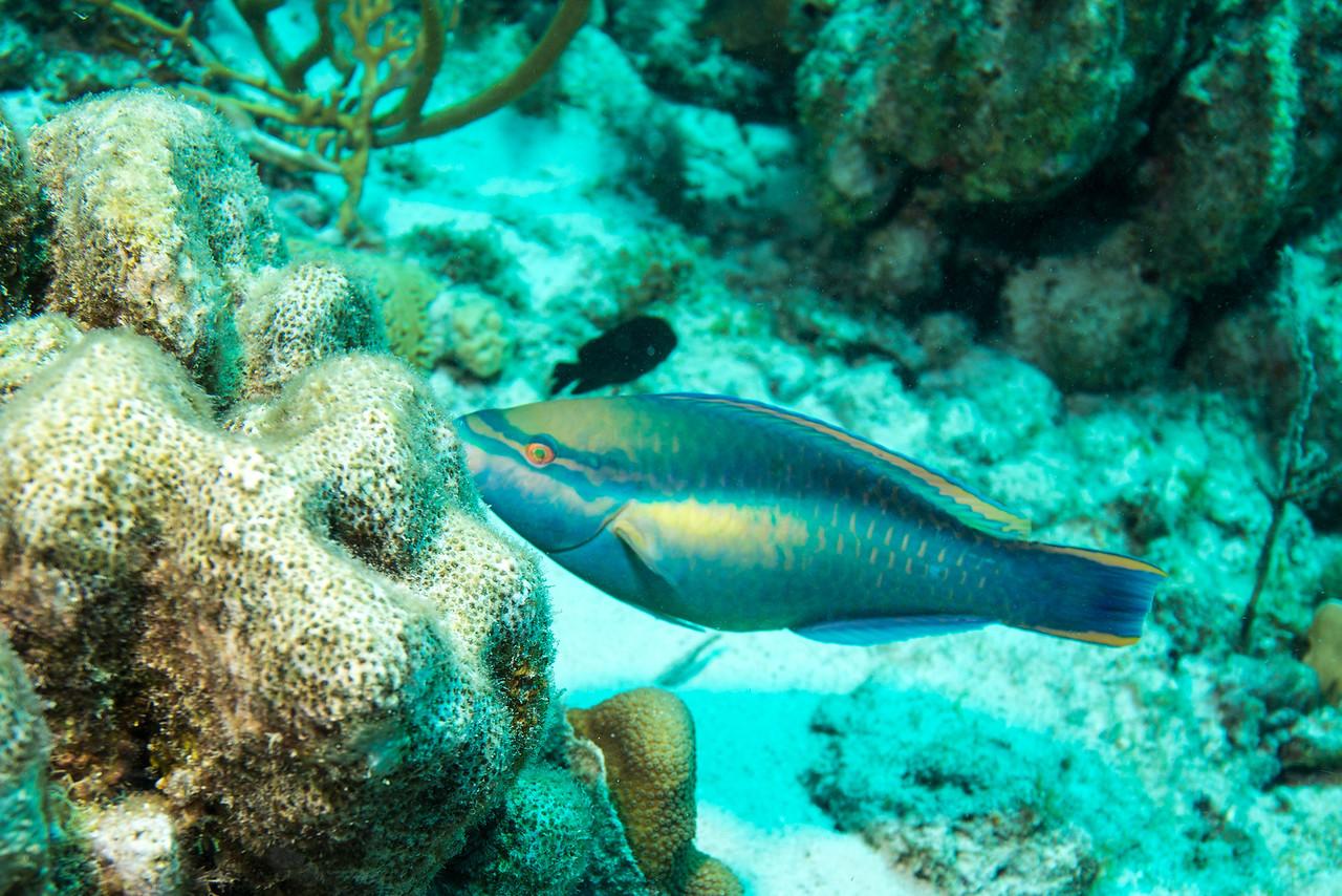 Parrotfish, Newport dive - Curaçao 2013