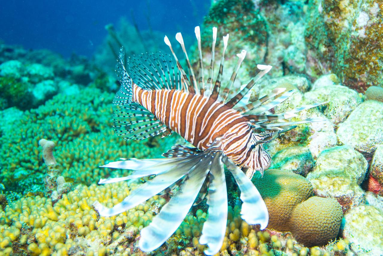 Lionfish, Newport dive - Curaçao 2013