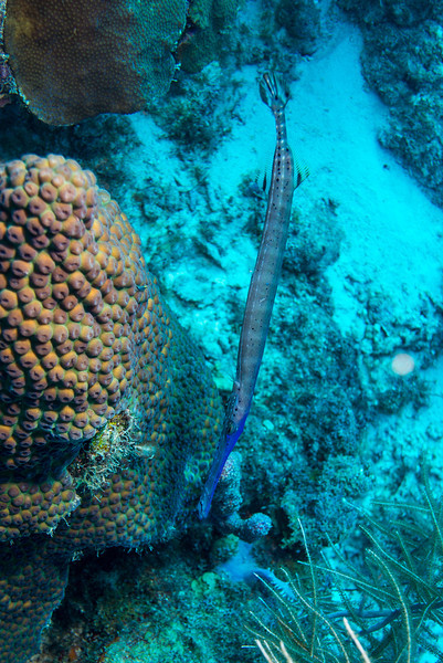 Trumpetfish on Short Wall dive - Curaçao 2013