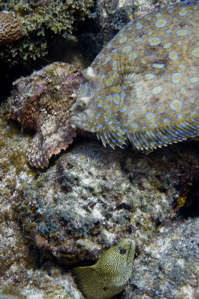 Suddenly the Peacock Flounder moves.  The Goldentail Moray certainly notices.  The Scorpionfish doesn't budge.